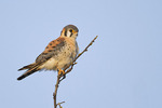 Adult male American Kestrel perched near a nest box in late March.