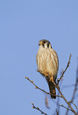 Adult female American Kestrel perched near a nest box in late March.