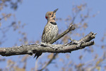Male Northern Flicker utters territorial wicka-wicka call in late March.