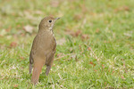 Hermit Thrush foraging on a lawn in early April on spring migration.