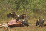 White-rumped Vultures at cow carcase.