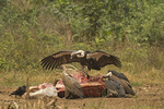 White-rumped Vulture at cow carcase.