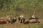 White-rumped, Slender-billed and Himalayan Griffon vultures at a cow carcase.