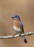 Male Eastern Bluebird in early April.