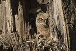 Great Horned Owl chick at nest in mid-April.