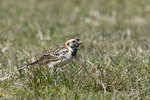 Male Lapland Longspur forages on a lawn on spring migration in mid-April. Hammonasset Beach State Park. Madison, Connecticut.