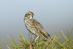 Savannah Sparrow in early April.