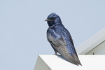 Male Purple Martin perched on martin house in mid-April.