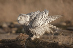 Immature Snowy Owl ruffles its feathers while preening in late February.