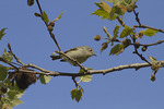 Ruby-crowned Kinglet in London Plane in early April on spring migration.
