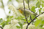 Female Blackburnian Warbler in Black Cherry (Prunus serotina) on spring migration in early May.