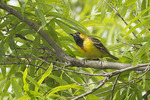 First spring male Orchard Oriole in Willow Oak (Quercus phellos) in early May on spring migration.