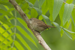 House Wren in early May.