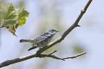 Male Cerulean Warbler in late April.
