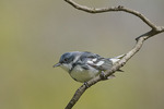 Adult male Cerulean Warbler in late April.