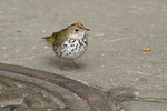 Ovenbird foraging next to a manhole cover in early May on spring migration.