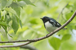 Male Black-throated Blue Warbler in mid-May on spring migration.