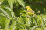 Adult female Yellow Warbler in late May in Dogwood.