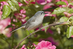 Male Blue-gray Gnatcatcher in late May.