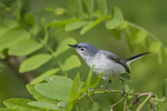 Male Blue-gray Gnatcatcher in late May on spring migration.