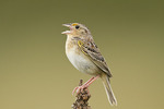 Singing Grasshopper Sparrow in late May.