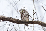 Northern Saw-whet Owl on spring migration in mid-March.