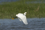 Snowy Egret in flight in mid-June.