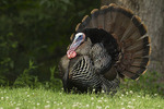Adult Male Wild Turkey displaying in early June.