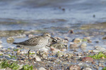 Adult White-rumped Sandpiper in breeding plumage on spring migration in early June.