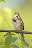 Song Sparrow singing in mid-June.