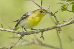Yellow-throated Vireo in early June.