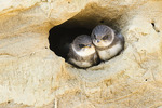 Bank Swallow chicks at nest.