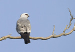 Adult male Mississippi Kite in late May.
