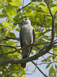Mississippi Kite in late May.