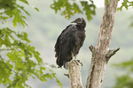 Black Vulture at roost in mid-June. B