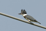 Juvenile male Belted Kingfisher in late June.