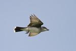 Adult male Eastern Kingbird in flight in late June.