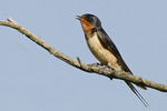 Adult male Barn Swallow in late May.
