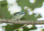 Female Cerulean Warbler in mid-June.