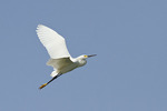 Snowy Egret in flight in early July.