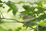 Worm-eating Warbler on fall migration at the beginning of July.