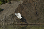 Snowy Egret looks for a fishing spot in early July.