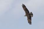 Adult female Osprey in flight in early July.