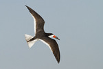 Black Skimmer in flight in late July.