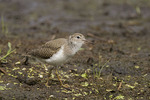 Juvenile Spotted Sandpiper in early July.