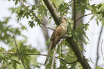 Adult Black-billed Cuckoo in early July.