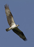 Adult Osprey in flight in mid-July.