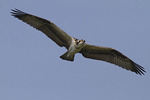 Juvenile Osprey in flight in mid-July.