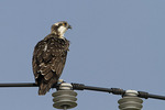 Juvenile Osprey perched on phone line in mid-July.