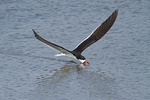 Black Skimmer skimming in early July.